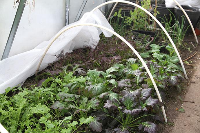 Asiatiske bladgrønsager i god vækst.