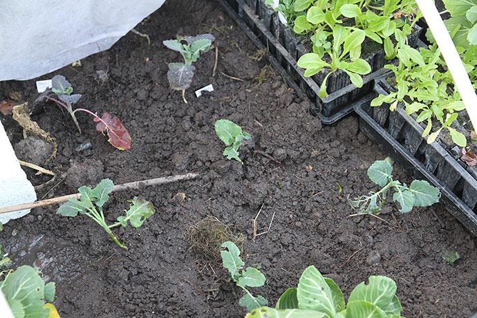 De små broccoliplanter er blevet plantet ud - så må de blive til noget - hvis de vil.