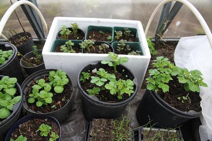 Første hold kartofler er sat først i marts, andet hold en uges tid senere.