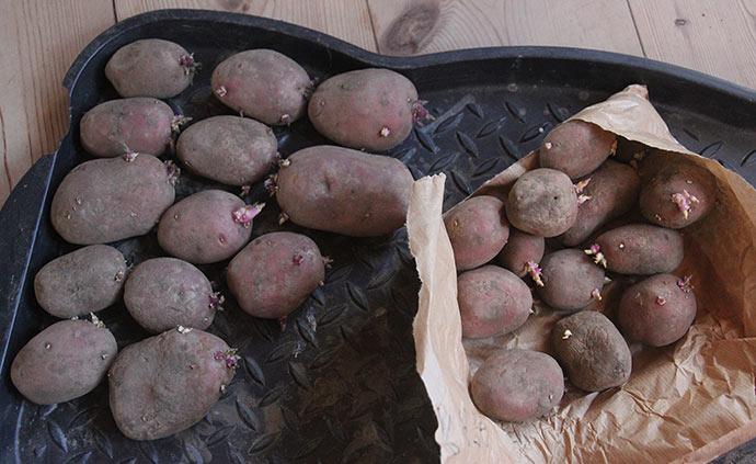 Kartoflerne var allerede begyndt at spire i poserne.