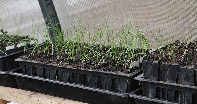De her løg har været under vækstlys og står derfor op. Uden vækstlys ligger de ned, men retter sig, når de kommer i drivtunnel.