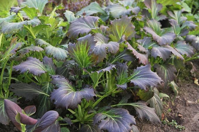 'Red Knight' den 8. januar. Planten har nu nået fuld udvikling er er begyndt at strække sig for at sætte blomster.