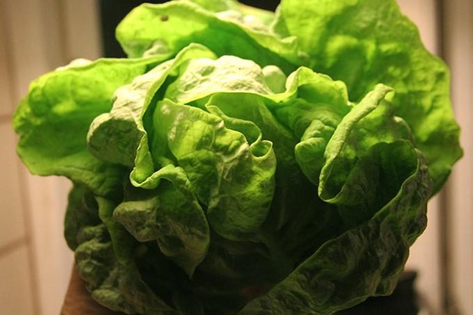 Årets første salathovede.