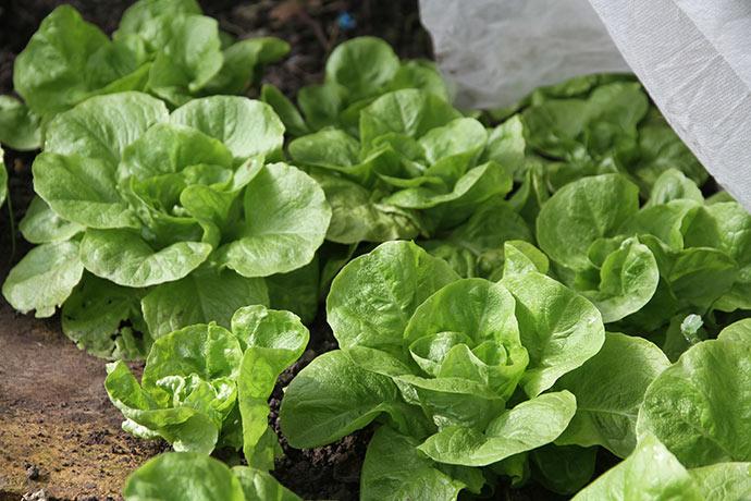 Salaten vokser nu, og i dag plukkede jeg nogle af de yderste blade til et par sandwich til frokost.