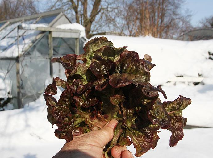 Lidt specielt at kunne plukke salat, når haven er helt dækket af sne og det er hård frost.