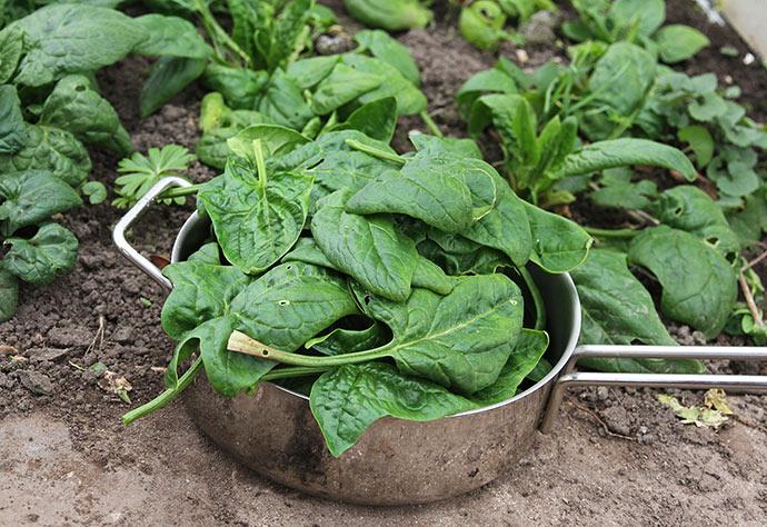 Jeg plukkede sauterpanden fuld - der er flere spinatblade tilbage.