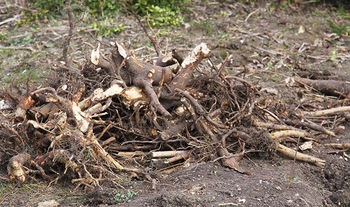 Små go store stubbe. Nogle af dem måtte min mand flække med økse for at få dem op.