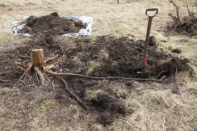 Tjørnetræet havde mange meter lange rødder, men de fleste lå ikke så dybt.
