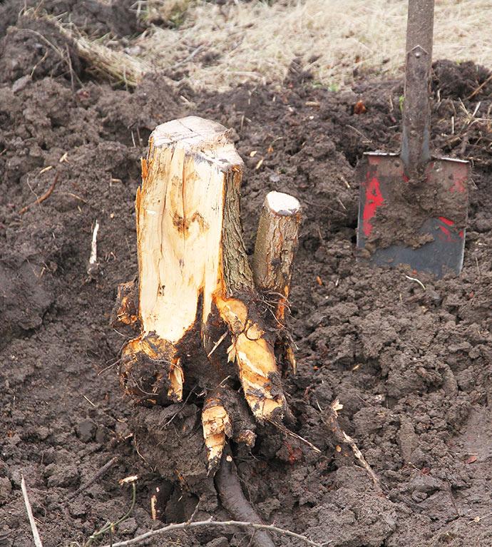Kun træstubben tilbage med et par lodrette rødder.