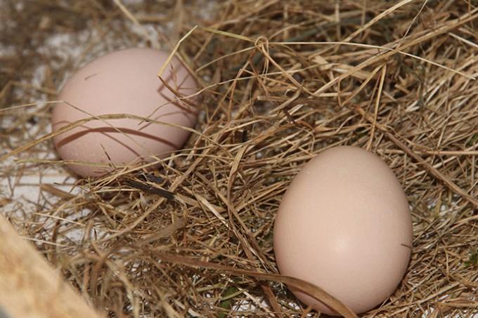 De første to æg.
