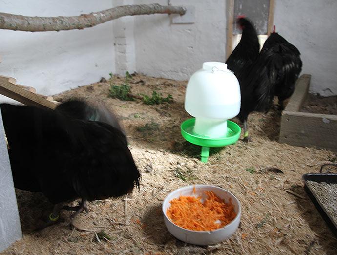 Agnes muler en af de andre høner.