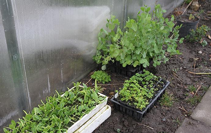 Vinterærter, persille og spinat sat ud til afhærdning i stille regnvejr.