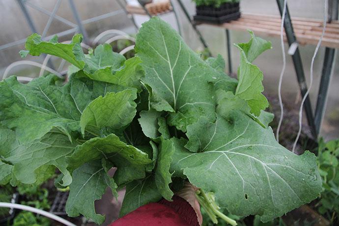 Lækre grønne blade af Hungry Gap.