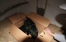 Hønerne sad lidt og kiggede, da vi åbnede flyttekassen.