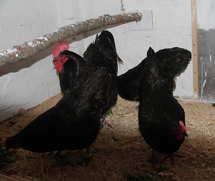 Der var en stille klukken, men de indtog hønsehuset.