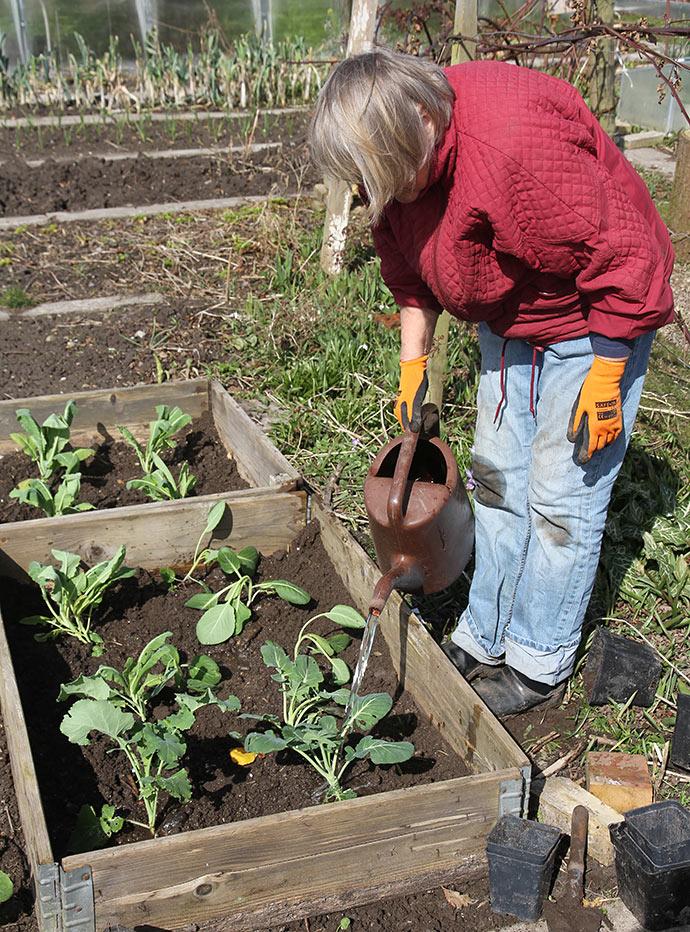 Selv om jorden er meget våd, så skal der vandes, så rødderne kan få god jordkontakt.