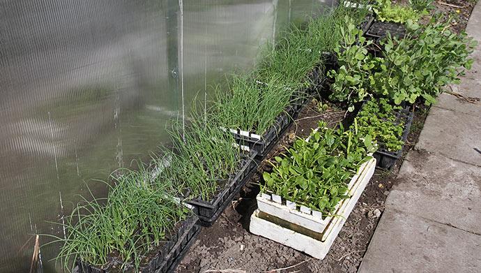 De såede løg er sat til afhærdning og bliver plantet ud lørdag eller søndag inden regn.