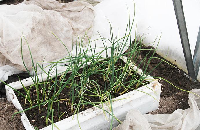 9. marts: Sådan her så de overvintrende løg ud, som stod i en kasse i drivtunnelen. De har stået udækket hele vinteren.