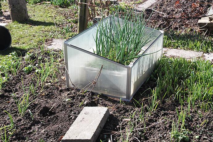 4. april: I dag blev kassen med overvintrende løg fra drivtunnelen flyttet ud. De er noget større end løgene på friland.