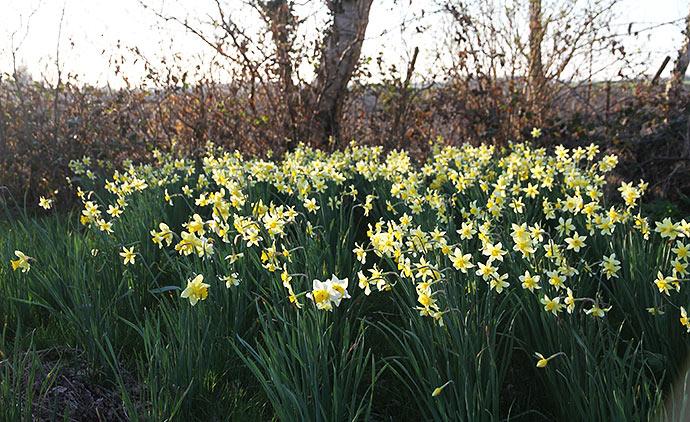 Tidligere ejere har plantet en stor plet med narcisser - der kommer tulipaner senere.