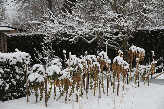 Det gode ved en kold marts er, at rosenkålene stadig har en fin brugskvalitet, selv om de ser lidt medtagne ud.