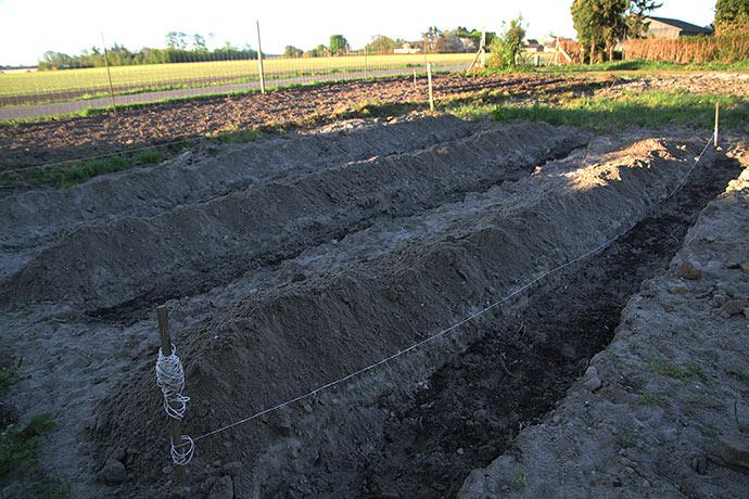 Udgravede render til at lægge aspargeskronerne i. &0 cm brede og 18 cm dybe.