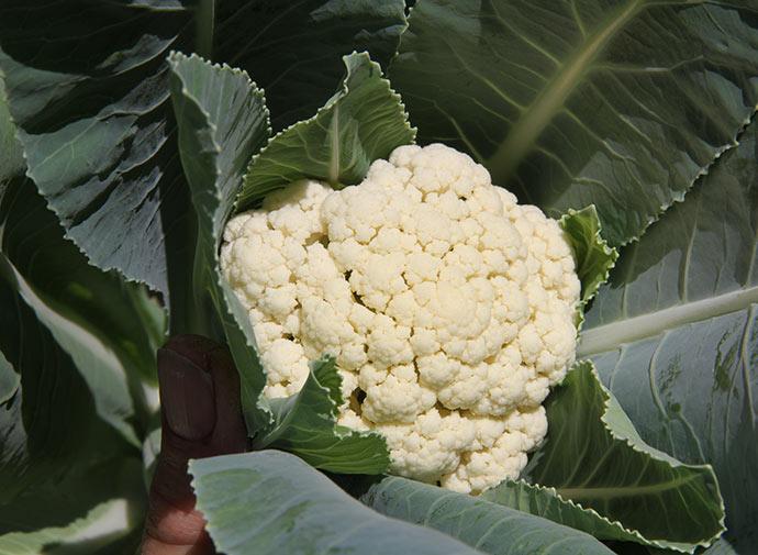 Fint hvidt blomkål.