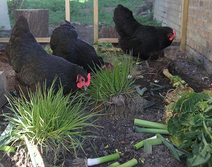 Hønsene er lige blevet lukket ud om morgenen til friske forsyning med rosenkålstok, porrer og græstotter.