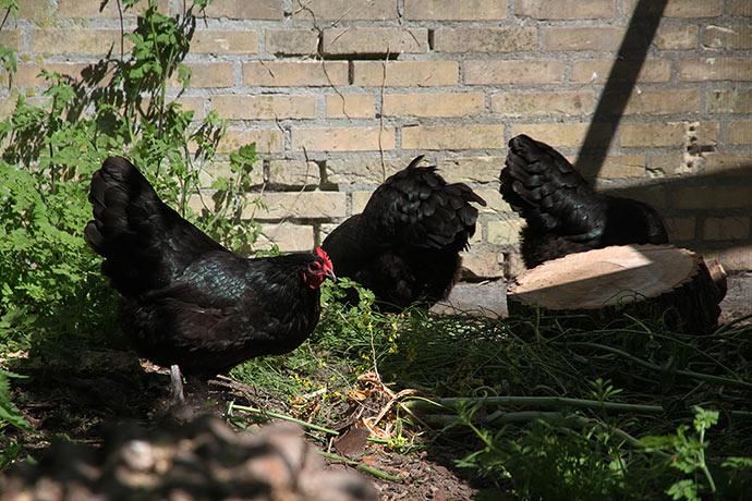 Alle tre høns er nu ude i hønsegården.