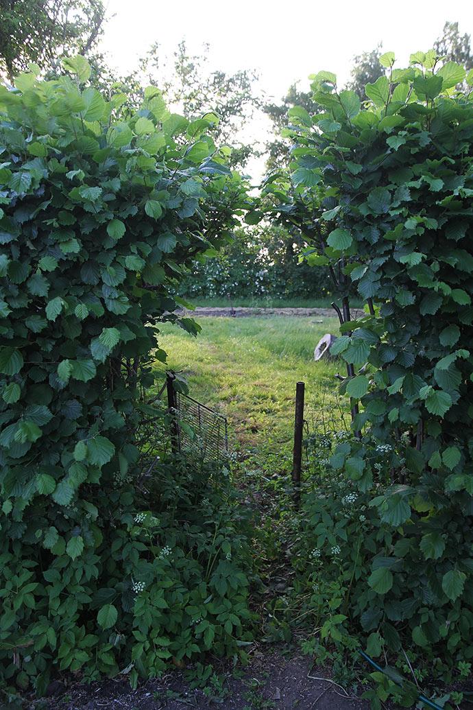 Grønsagsmarken ligger ikke langt fra min køkkenhave - her ses den fra køkkenhaven bag hasselhækken.