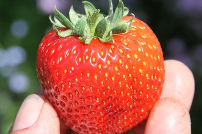 Årets første jordbær - fra drivhus.