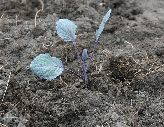 Der er dækket løs jord hen over den våde jord for at dæmpe fordampningen.