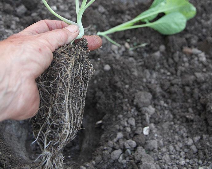 Planterne er store og rodklumpen er fast og fin.