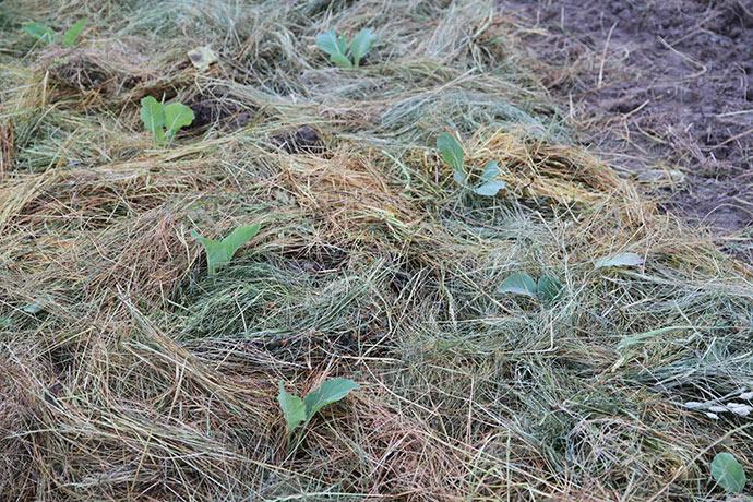 Der lægges slået græs ud som jorddække. Det mindsker fordampningen og giver et lidt beskyttet klima omkring planterne.