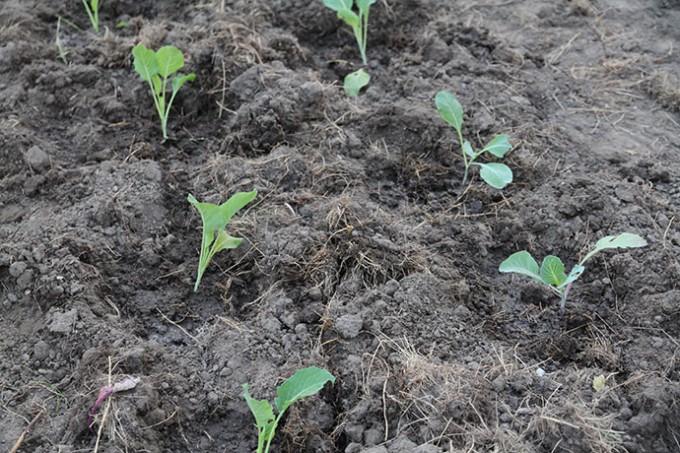 Kålplanterne er blevet vandet godt efter plantningen.