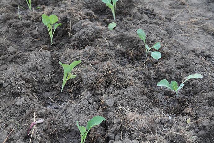 Kålene er blevet plantet og de er blevet vandet godt, så rødderne har fået god jordkontakt.