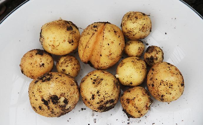 150 g nye kartofler af sorten Hamlet.
