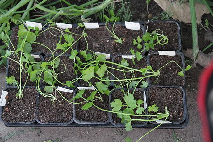 Knoldselleri skal ligge og dejse omkuld efter omplantning - ellers er de plantet for dybt.