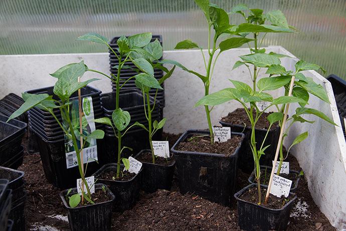 Planter af peberfrugt, som har brug for lidt større potter.
