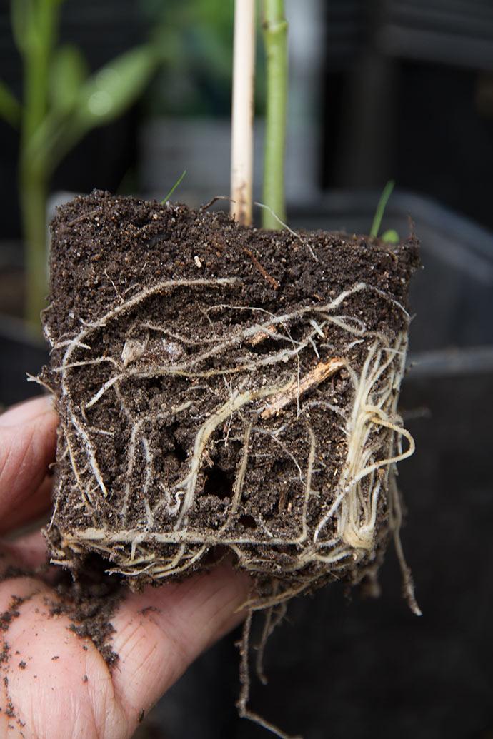 Rødder af peberfugt, som skal plantes om.