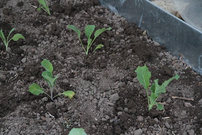 Savoykål er plantet ud.