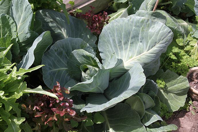 Kæmpe spidskålsplante dyrket i drivhuset.