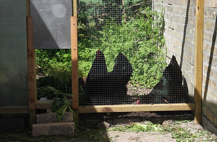 Nu er der to høns ude i hønsegården.