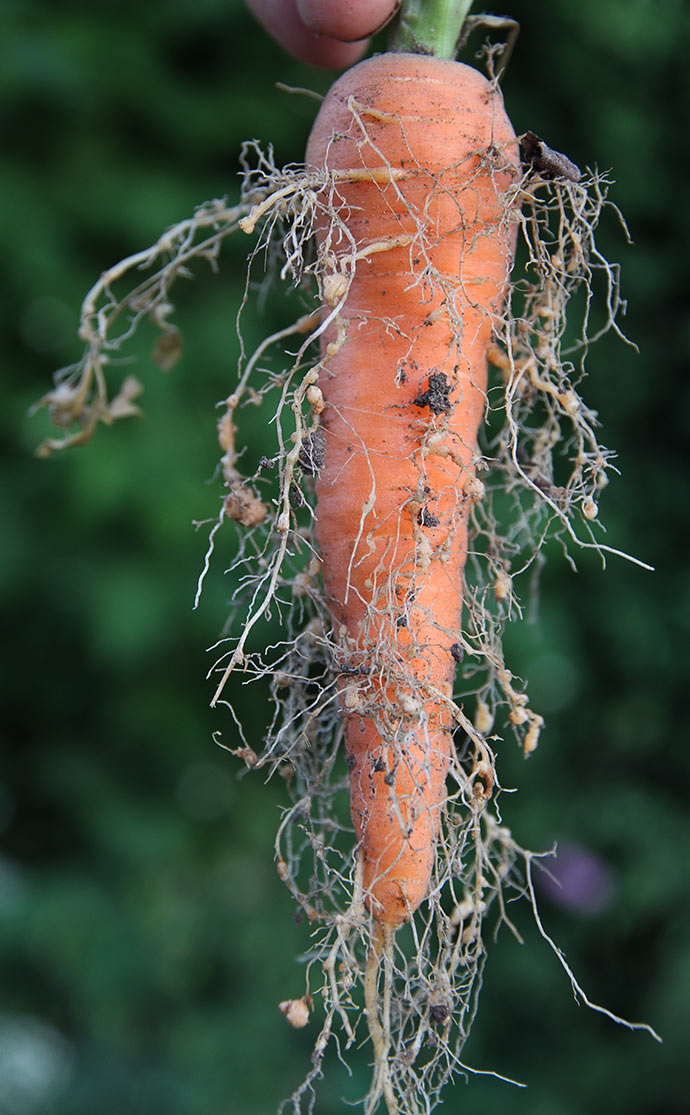 Mon ikke det er gulerodscystenematoder på den usædvanlige rodvækst.