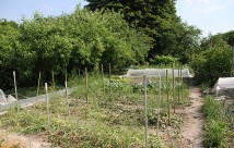 Jeg har mange træer i min have, også tæt på bedene. I dag er aspargesbedene blevet dækket med hækklip og halvvisne blade fra havens løgblomster.