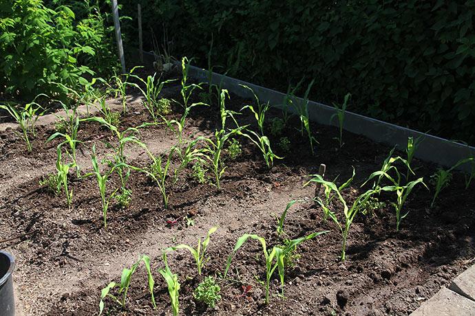 Nyudplantede majs og oka. De forkultiverede er mere spinkle end de, som er sået direkte.