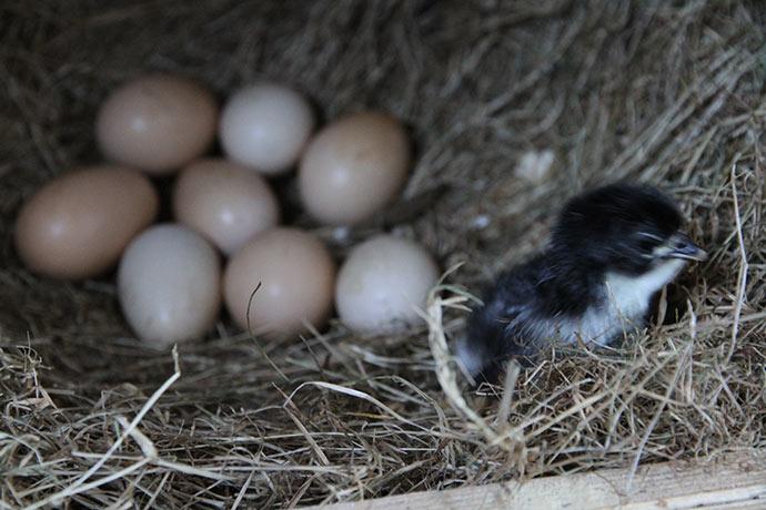 En lille Australorps kylling - de er ingen på vej ud af de 8 andre æg.