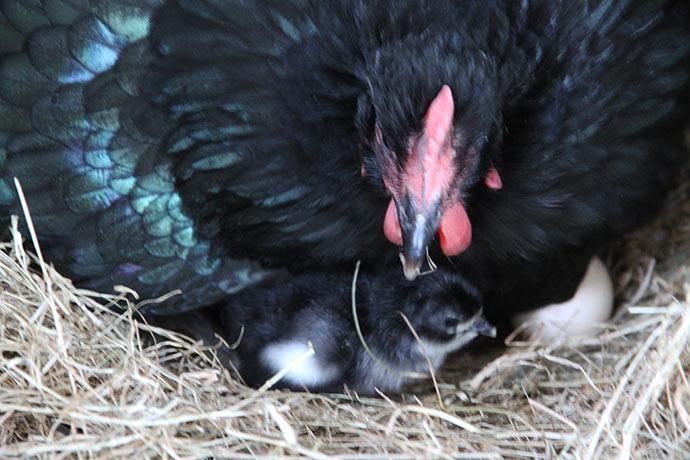 Amalie er tilbage på reden og kyllingen kommer næsten med det samme ind under hende igen.