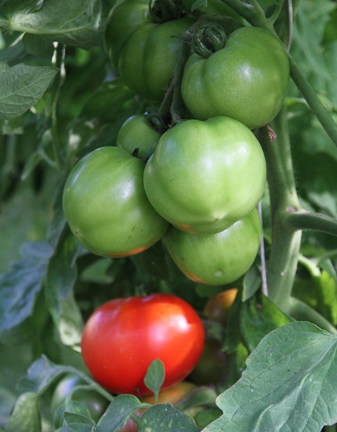 Oh Happy Days er en ny skimmelresistent sort, som sætter store bøflignende tomater.