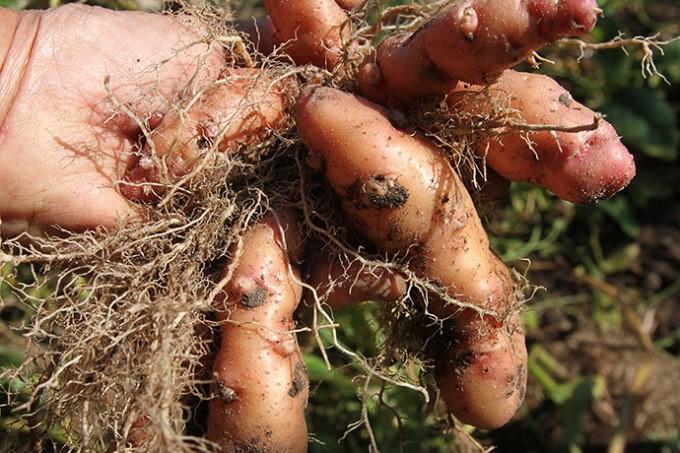 Pink Fir kartofler dyrket inde i haven, så de er skurvfri.